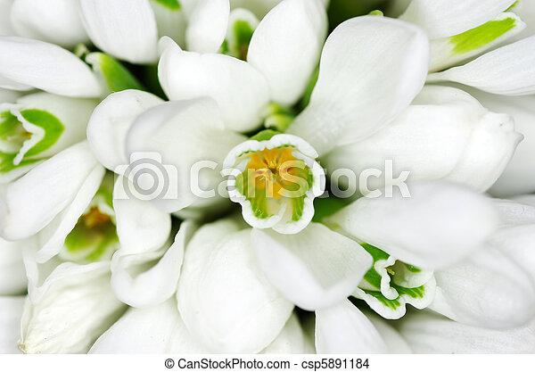 snowdrop flowers - csp5891184