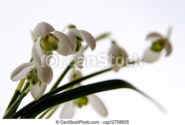 Snowdrop flowers - csp12708935