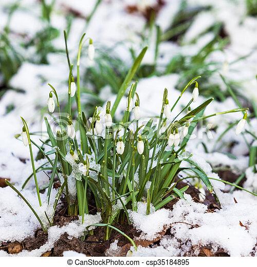 snowdrop galanthus nivalis first spring flowers snowdrops in garden