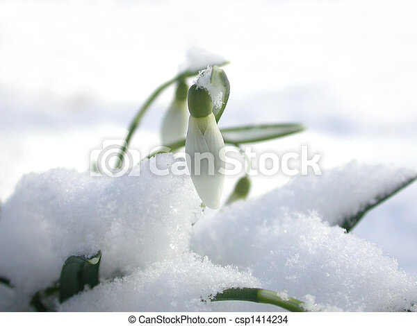 Snowdrop in the snow - csp1414234