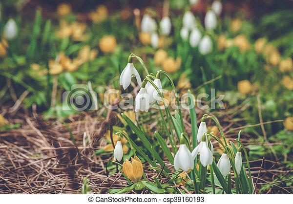 snowdrops, eranthis, flowerbed - csp39160193
