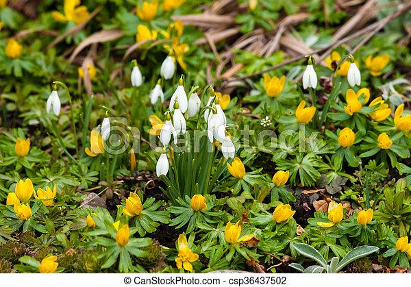 snowdrops, eranthis, jardim - csp36437502