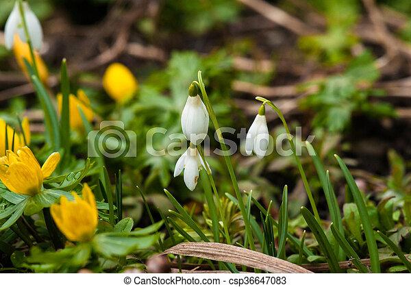 snowdrops, eranthis, março - csp36647083