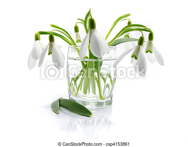 snowdrops in a vase isolated - csp4153861