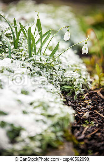 Snowdrops on a icy bed, concept spring beginning - csp40592090