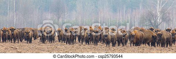 snowless, europeu, bisonte, inverno, rebanho - csp25793544