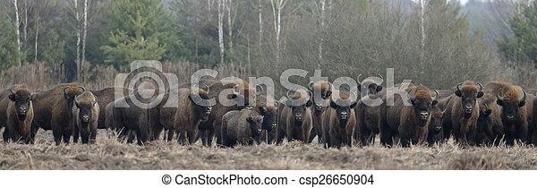 snowless, europeu, bisonte, inverno, rebanho - csp26650904