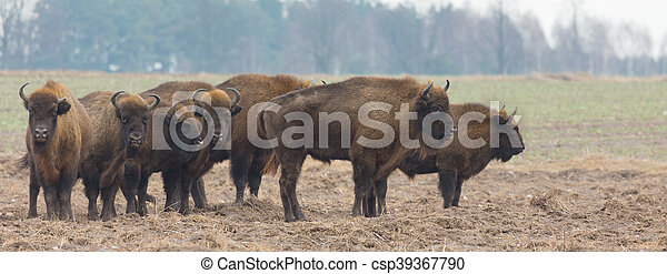 snowless, europeu, bisonte, inverno, rebanho - csp39367790
