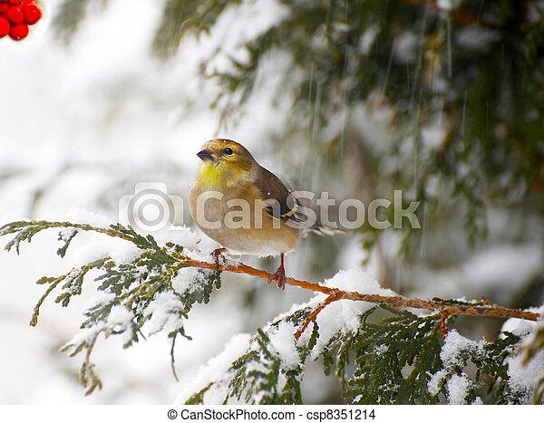 snowstorm., amerikaan, goldfinch - csp8351214