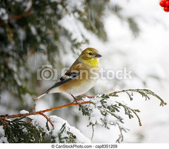 snowstorm., amerikaan, goldfinch - csp8351209