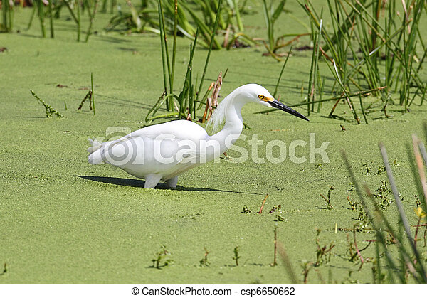 Snowy Egret (Egretta thula) - csp6650662