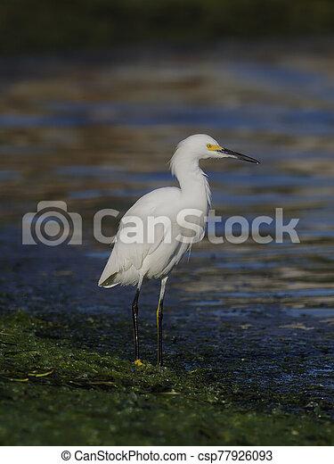 Snowy egret, Egretta thula - csp77926093