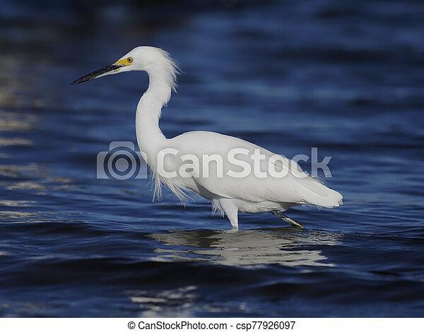 Snowy egret, Egretta thula - csp77926097