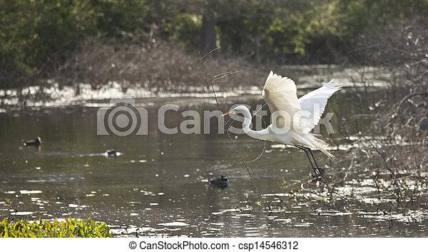snowy egret in flight - csp14546312