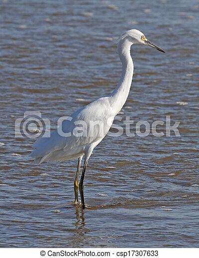 Snowy Egret in the surf - csp17307633