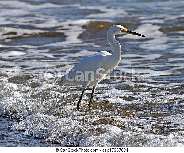 Snowy Egret in the surf - csp17307634