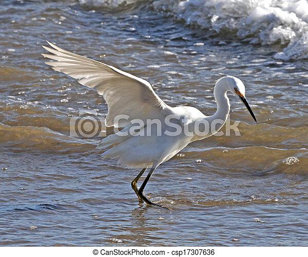 Snowy Egret in the surf - csp17307636
