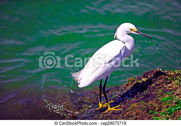 Snowy egret - csp29073719