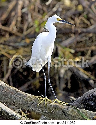 Snowy Egret - csp3411267