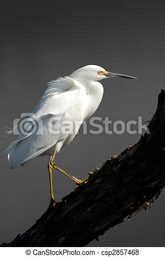 Snowy Egret - csp2857468