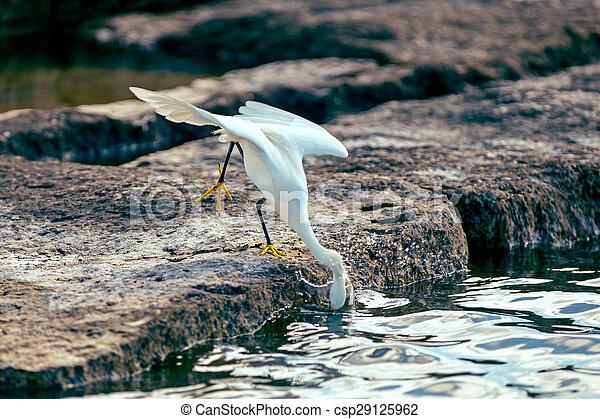 Snowy egret - csp29125962