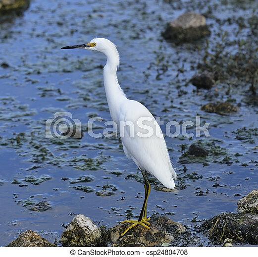 Snowy Egret - csp24804708