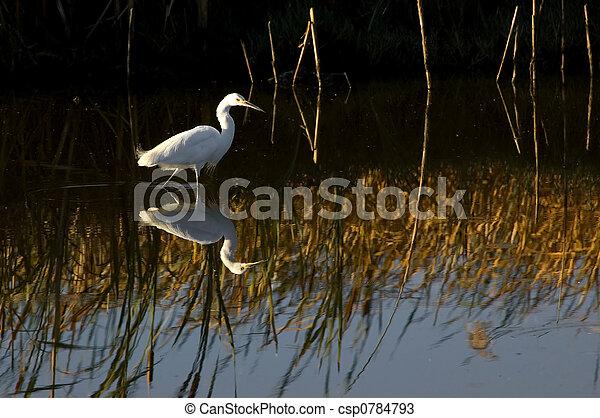 Snowy egret - csp0784793