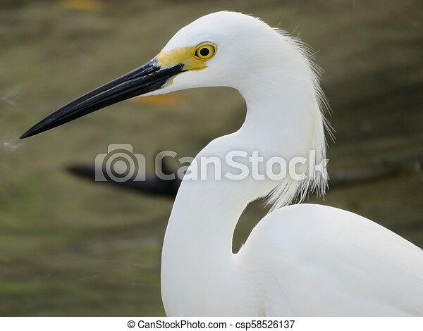 Snowy egret - csp58526137