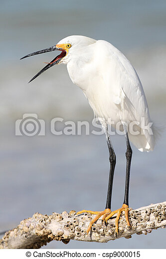 Snowy Egret with Beak Open - csp9000015