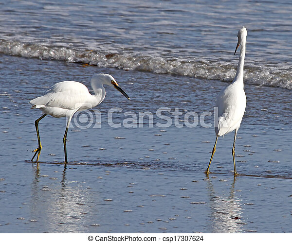 Snowy Egrets in the surf - csp17307624
