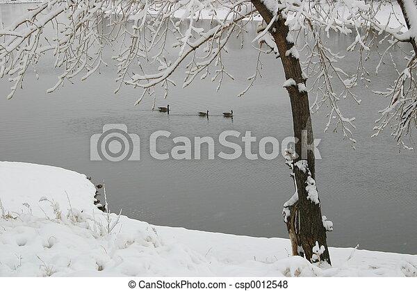 Snowy Geese - csp0012548