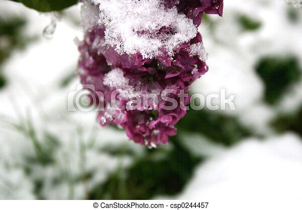 Snowy Lilacs - csp0244457