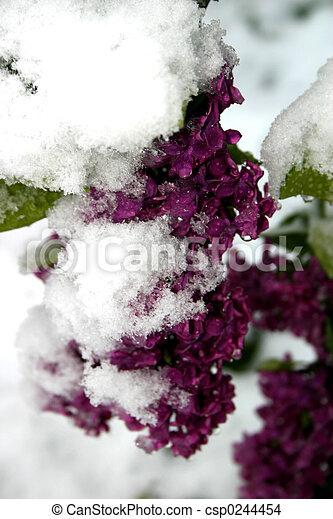 Snowy Lilacs - csp0244454