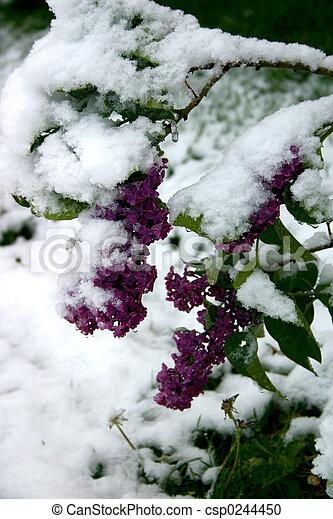 Snowy Lilacs - csp0244450