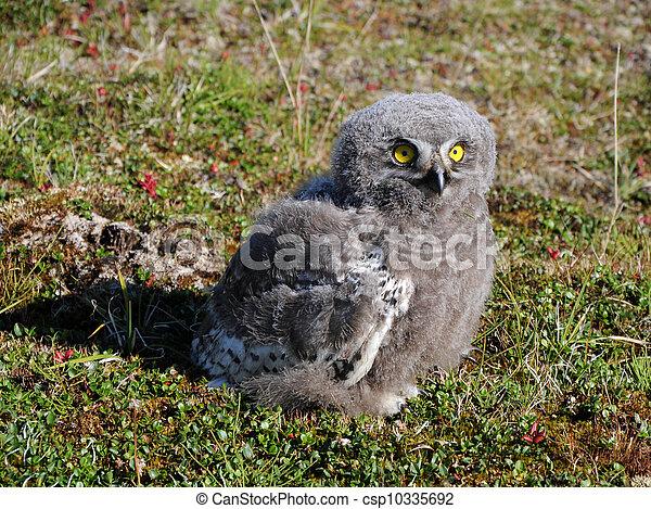 snowy owl chick (Bubo scandiacus) - csp10335692
