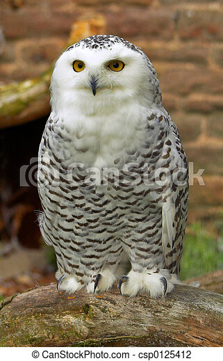 Snowy Owl - csp0125412