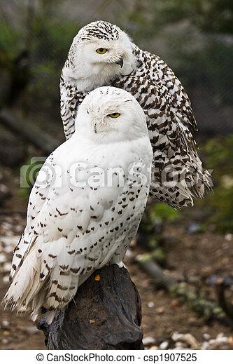 Snowy owls - csp1907525