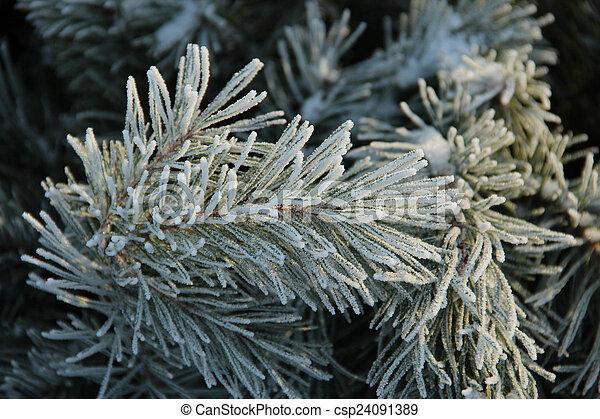 Snowy pine tree a sunny winter day - csp24091389