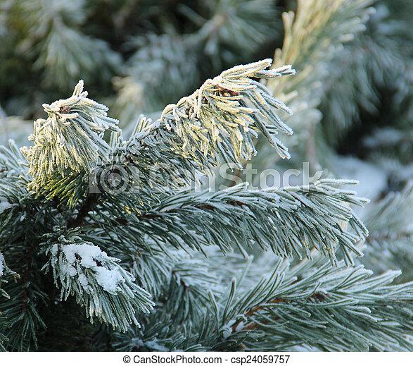 Snowy pine tree a sunny winter day - csp24059757