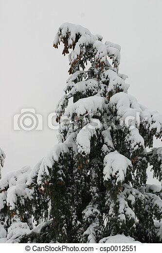 Snowy Spruce - csp0012551