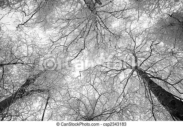 Snowy trees in winter - black and white - csp2343183