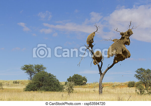 Sociable weaver nest in a dead tree amidst sand dunes in the Kalahari - csp53594720