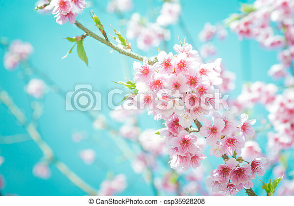 Soft focus Cherry Blossom or Sakura flower on turquoise tone background - csp35928208