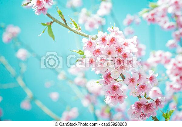 Soft focus Cherry Blossom or Sakura flower on turquoise tone background - csp35928208