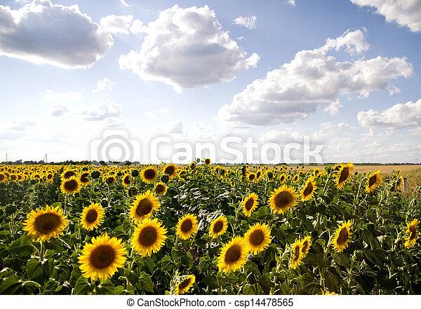 sol grande, flores, campo - csp14478565