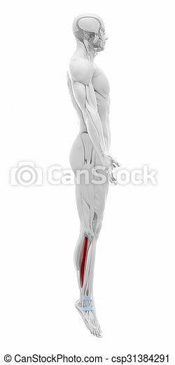 Soleus - muscles anatomy map.