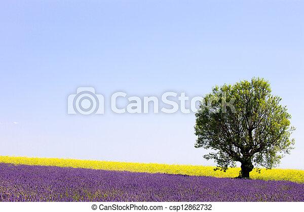solitario, fiori, lavanda, giallo, francia, campo, albero., azzurramento, provenza, europe., valensole - csp12862732