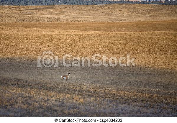 solitary antelope - csp4834203