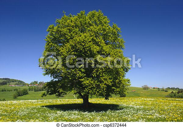 solo, árbol, pradera, primavera - csp6372444