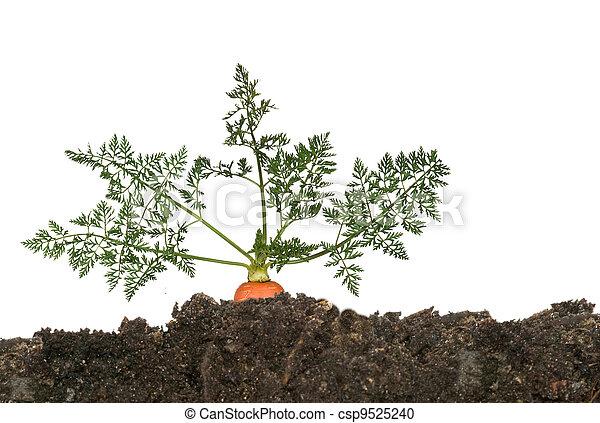 solo, cenoura - csp9525240